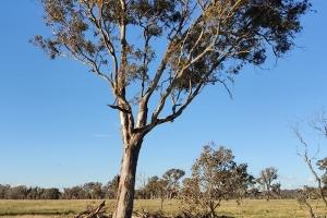 Rama Gogineni, Tree of Life